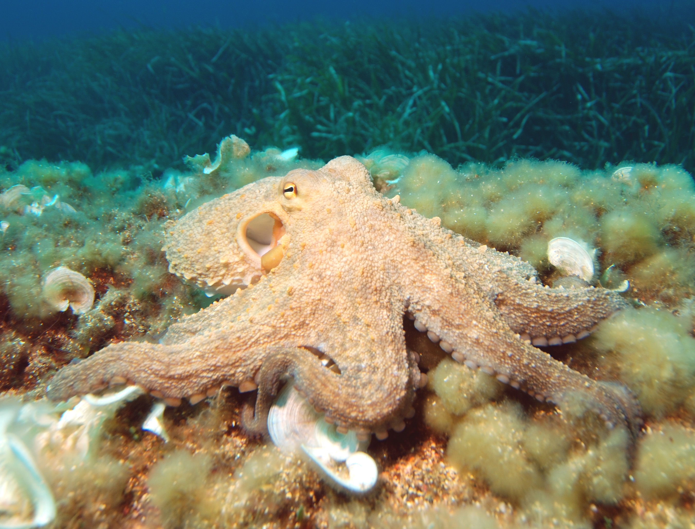 Common octopus (Octopus vulgaris)