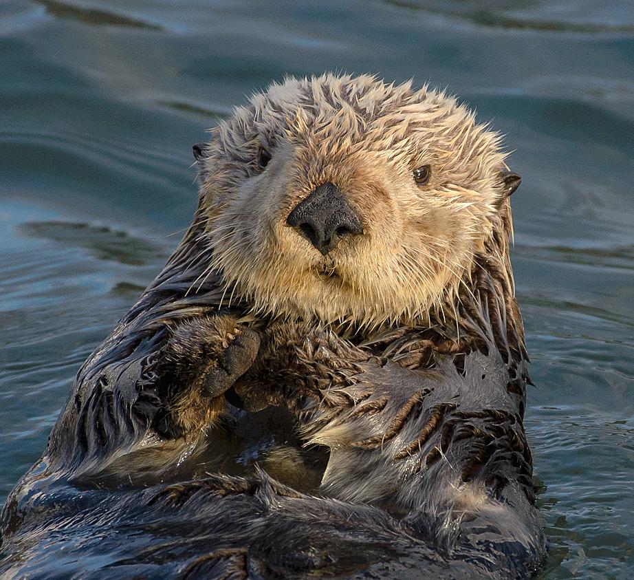 Sea otter (Inhydra lutris)