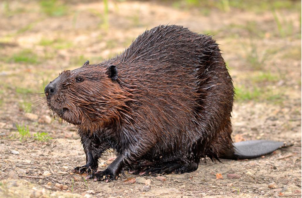 North American beaver.png